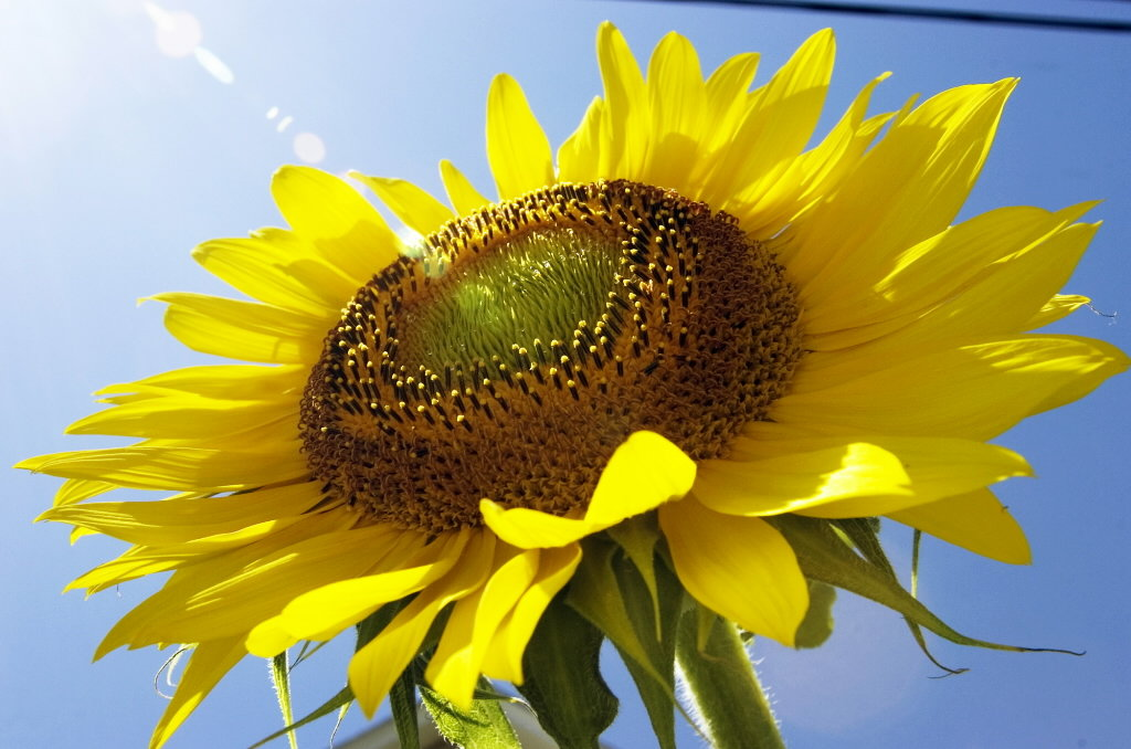 Фото цветы подсолнуха