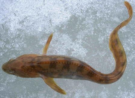 бельдюга рыба фото