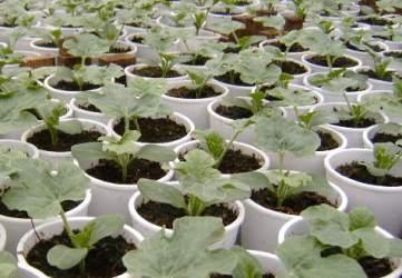 Как садить арбузы и дыни на рассаду 9