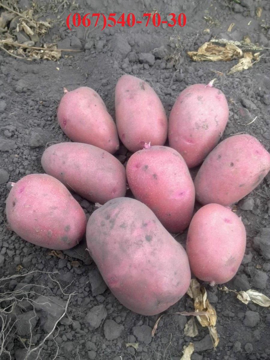 Купить картошка экспорт в петропавловской борщаговке, продажа картошка экспорт, фотографии картофель свежий картошка
