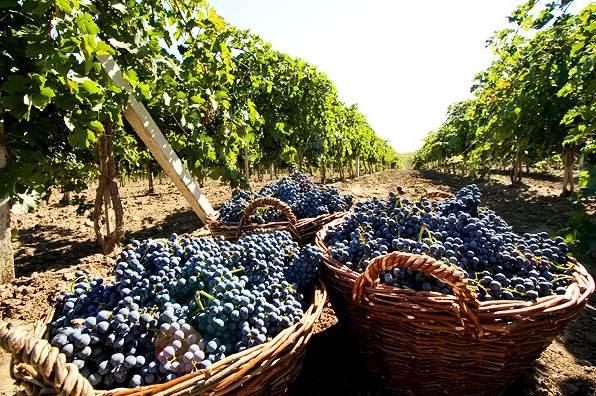 Картинки по запросу Молдова сбор винограда